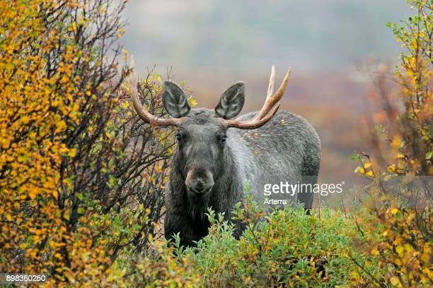 Moose young bull with small antlers foraging in moorland with willow trees in autumn Scandinavia