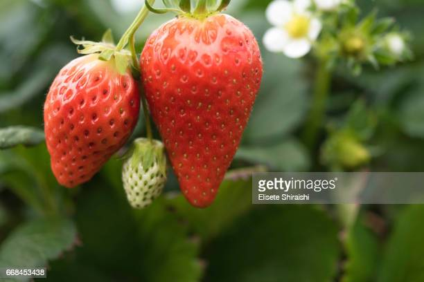 morangos - strawberry fields stock photos and pictures