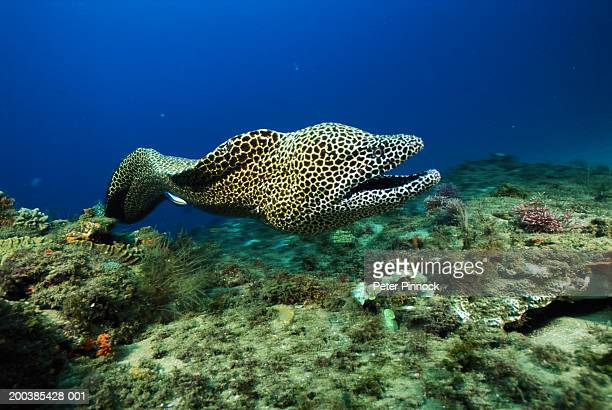 Moray eel and cleaner fish (Labroides dimidiatus) underwater view