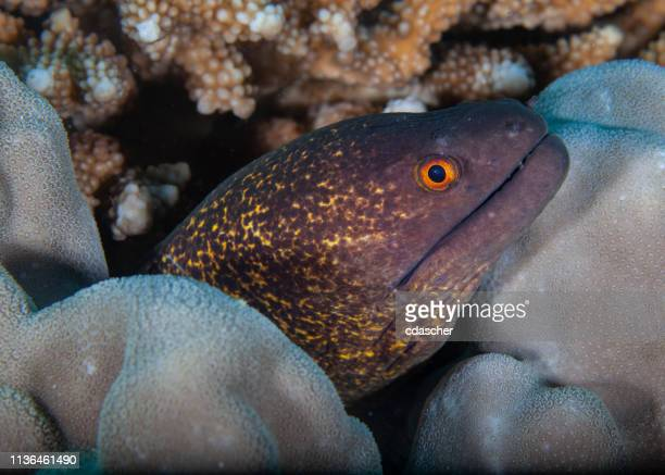 moray eel - cdascher stock pictures, royalty-free photos & images