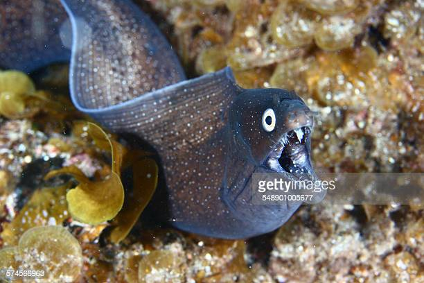 moray eel - saltwater eel stock photos and pictures