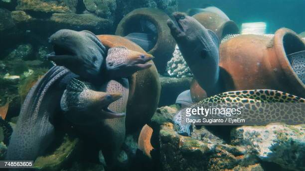 moray eel swimming in sea - saltwater eel stock photos and pictures