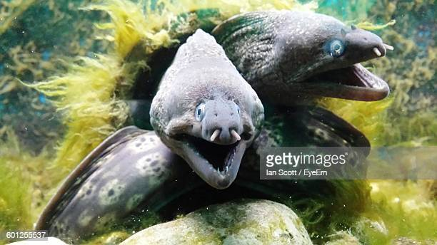 moray eels swimming underwater - saltwater eel stock photos and pictures