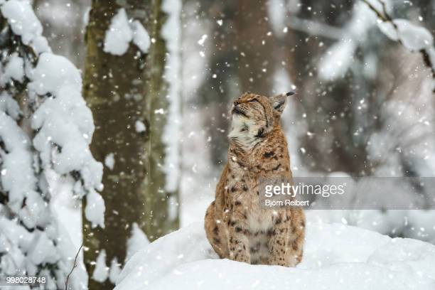 more and more snow - lynx stock photos and pictures