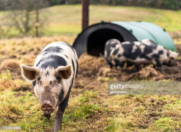 more food please - free range pig - pig in shit stock pictures, royalty-free photos & images