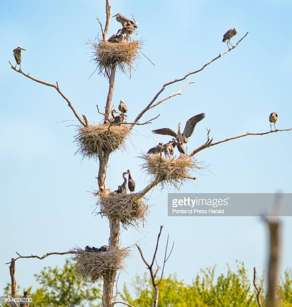 More than 20 great blue herons occupy one tree in five visible nests in a central Maine rookery The location one of the colonies being watched as...