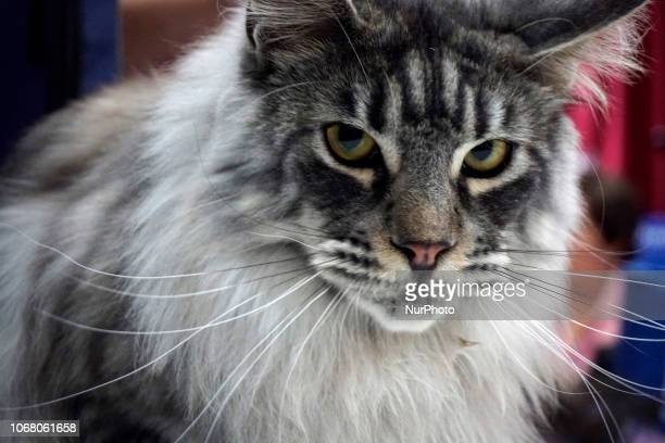 gato stock photos and pictures getty images