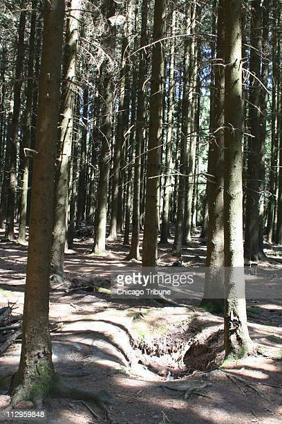 More than 60 years later World War II foxholes remain in the forests of the Belgian Ardennes including these between Bastogne and the village of Foy...