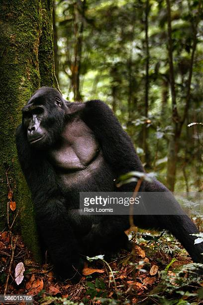 More than a third of the world's remaining 786 mountains gorillas live in the Bwindi Impenetrable National Park in Southwest Uganda The others live...