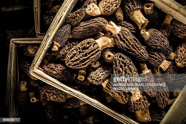 morel mushrooms - morel mushroom stock pictures, royalty-free photos & images