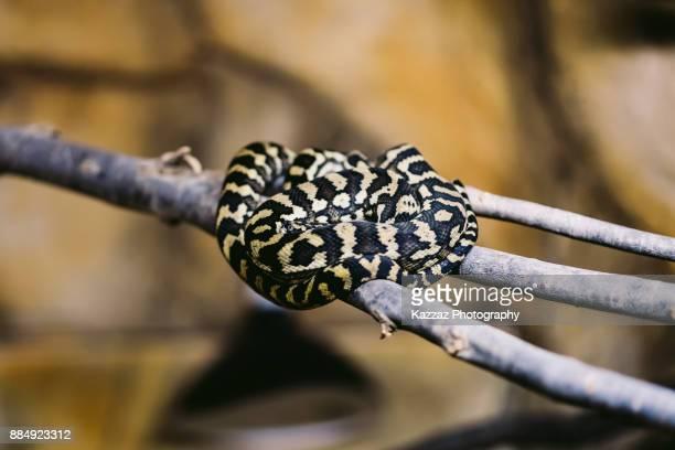 Morelia spilota python