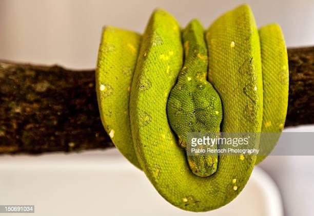morelia viridis - posadas stock pictures, royalty-free photos & images