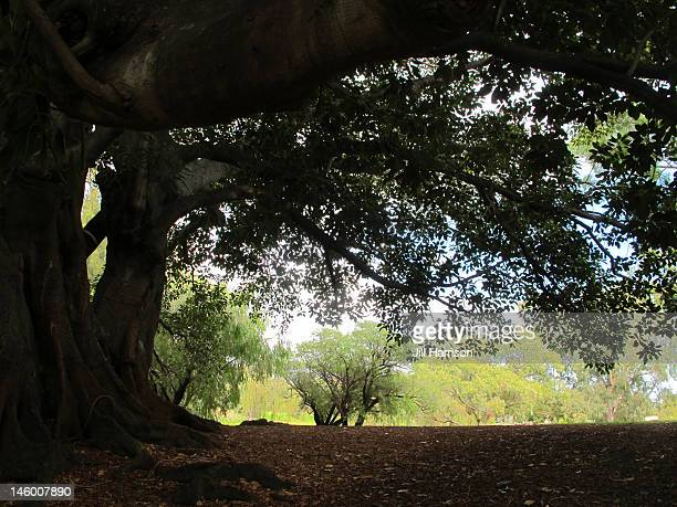 moreton bay fig tree - jill harrison stock pictures, royalty-free photos & images