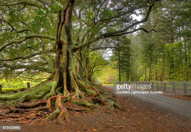 moreton bay fig-trees, new farm road, norfolk island, south pacific. - fig tree stock pictures, royalty-free photos & images