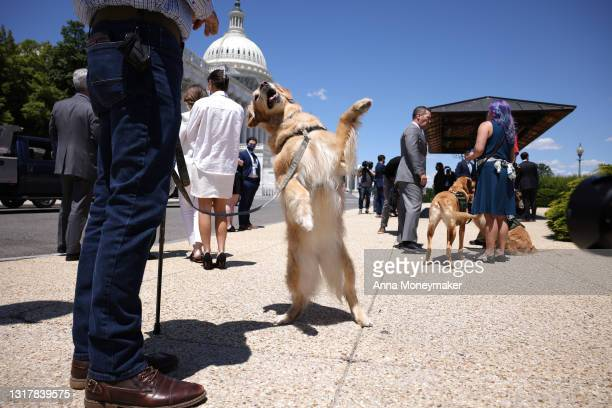 Morgan, a military service dog, stands on her hind legs for her handler before press conference for H.R. 1448, Puppies Assisting Wounded Service...