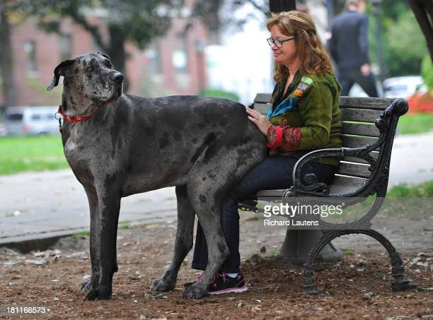 TORONTO ON SEPTEMBER 19 Morgan sits on owner Cathy Payne's lap in a downtown park on a walk An Ontario dog is the world's tallest female dog and will...