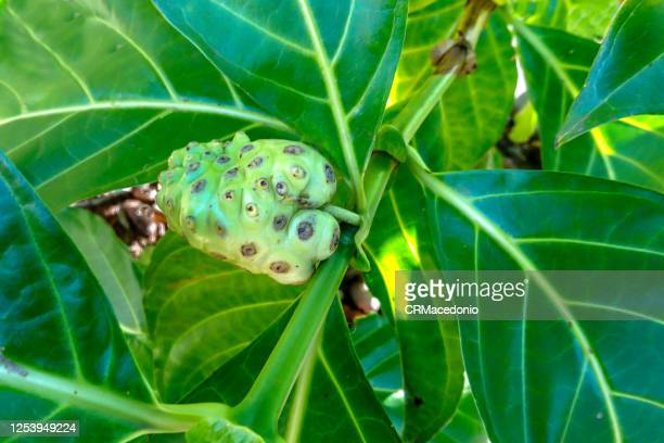 morinda citrifolia - crmacedonio stock pictures, royalty-free photos & images