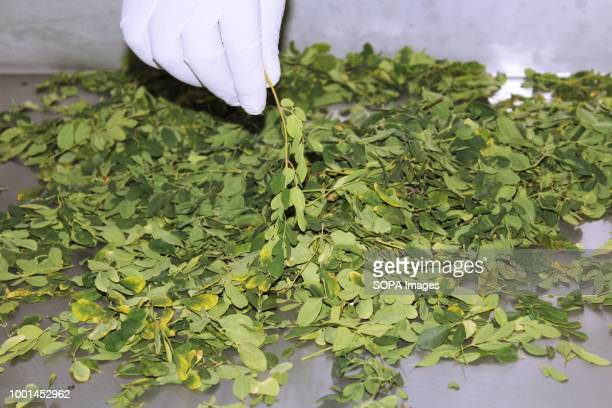 Moringa leaves after harvesting by the Moringa Technology Industry MTI is a company that manufactures moringa products such tea powder tablets and...