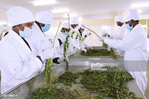 Moringa Technology Industry employees separating moringa leaves form twigs following harvesting MTI is a company that manufactures moringa products...