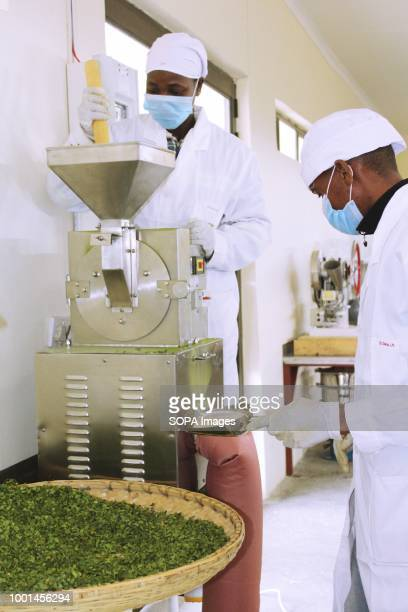 Moringa Technology Industry female employees feeding a grinding machine moringa leaves in order to make moringa powder a product used to make green...