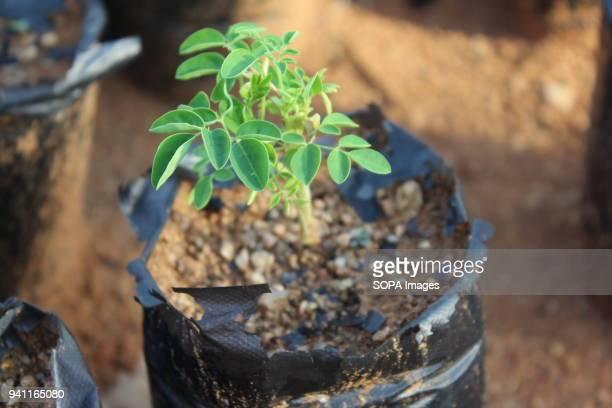 Moringa tree seedling at Hu Yan's a Chinese farmer moringa tree farm The moringa farm located in the outskirts of Tlokweng village boasts of 3 meter...