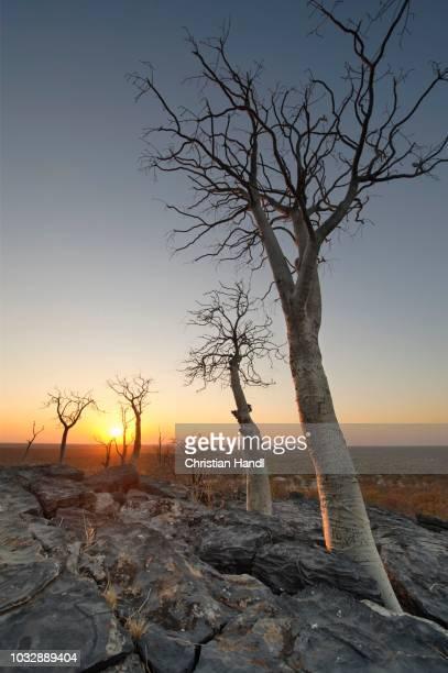 moringa trees (moringa ovalifolia) at sunset in halali, etosha national park, namibia - moringa tree stock photos and pictures