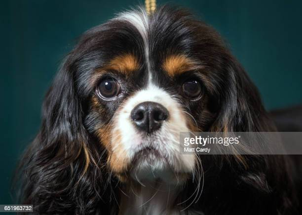 Mork, a 9-month-old Cavalier King Charles Spaniel dog, poses for a photograph on the second day of Crufts Dog Show at the NEC Arena on March 10, 2017...