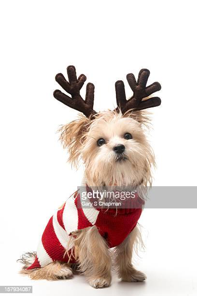 Morkie breed dog with Christmas antlers