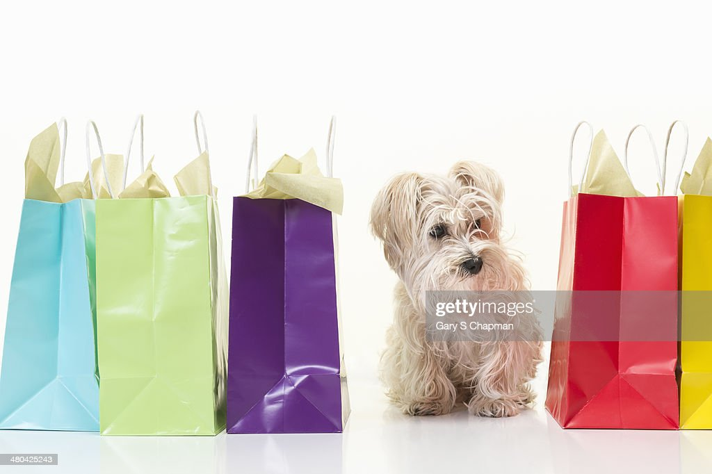 Morkie breed dog with colored shopping bags : Stock Photo