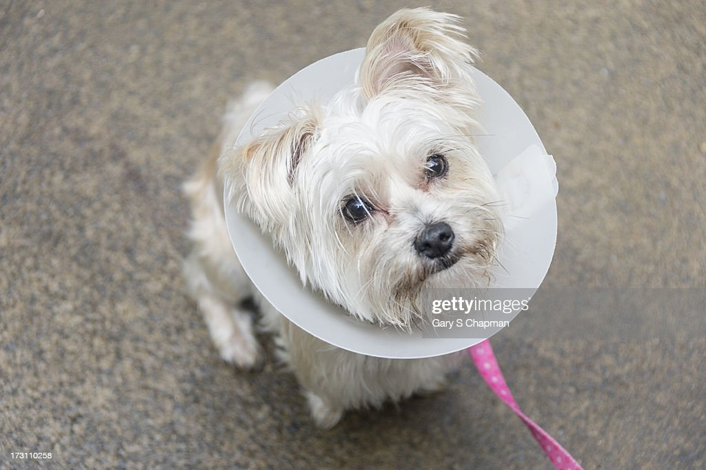 Morkie dog wearing a cone of shame : Foto de stock
