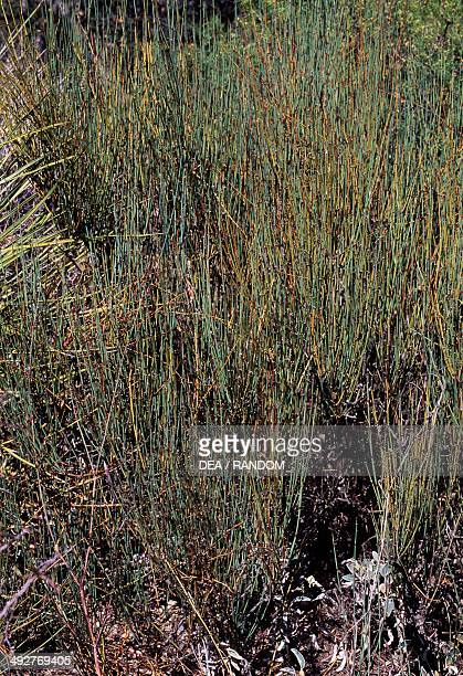 57 Ephedra Pictures, Photos & Images - Getty Images