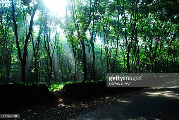 A morning amidst rubber trees