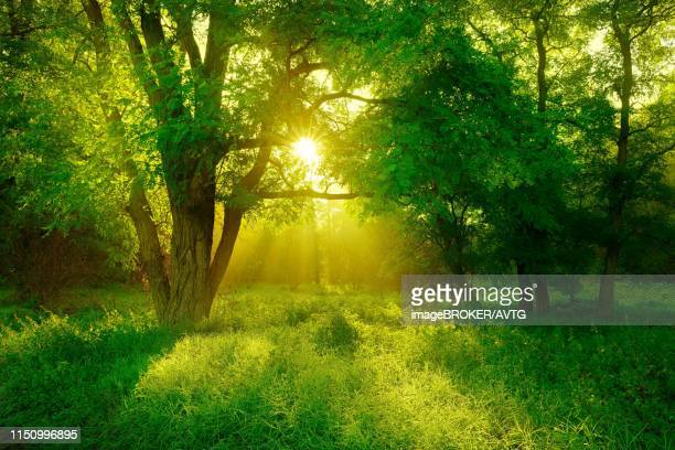 morning atmosphere in the forest, sun shines through trees, black locust (robinia pseudoacacia) on clearing, lower saale valley nature park, saxony-anhalt, germany - laubbaum stock-fotos und bilder