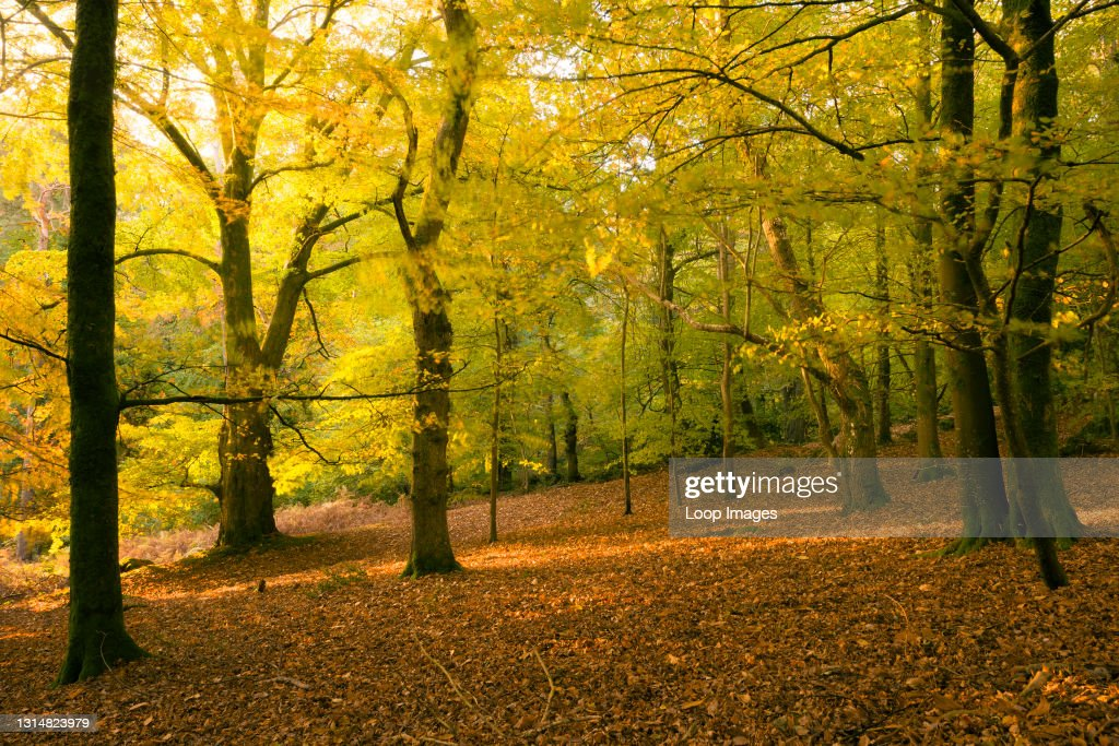 Morning autumn sunlight in a deciduous woodland at Crook Horn Hill in Exmoor National Park : News Photo