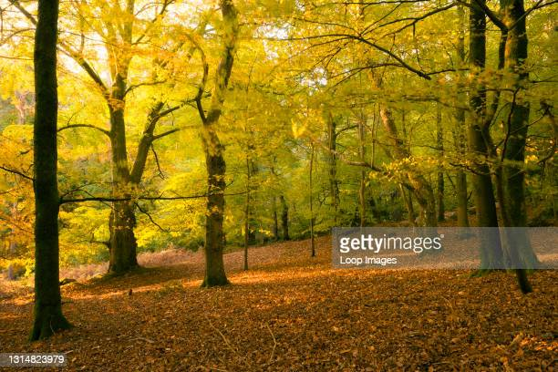 Morning autumn sunlight in a deciduous woodland at Crook Horn Hill in Exmoor National Park.