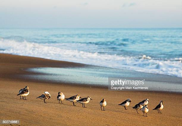 morning beach birds - kitty hawk beach stock pictures, royalty-free photos & images