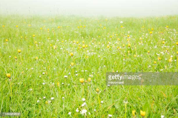 morning dew and fog in the meadow grass and flowers - gras stock pictures, royalty-free photos & images