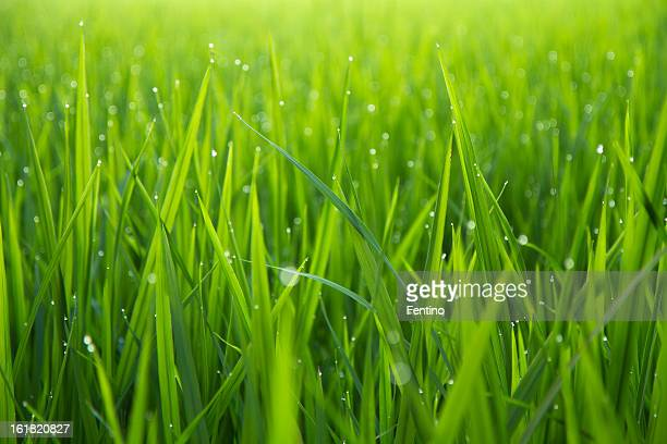 morning dew drops on green leafs - grass stock pictures, royalty-free photos & images