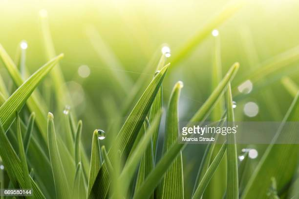 morning dew in the grass - dew stock photos and pictures