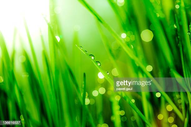 Morning dew on blades of grass during sunrise or sunset