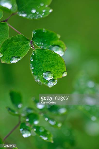 morning dew on fresh spring leaves - kathy shower stock pictures, royalty-free photos & images