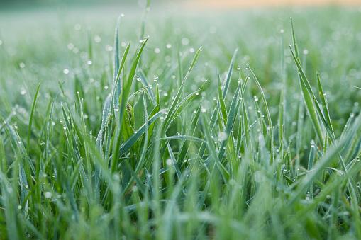 Morning dew on grass - gettyimageskorea