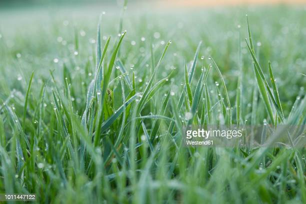 morning dew on grass - lush stock pictures, royalty-free photos & images