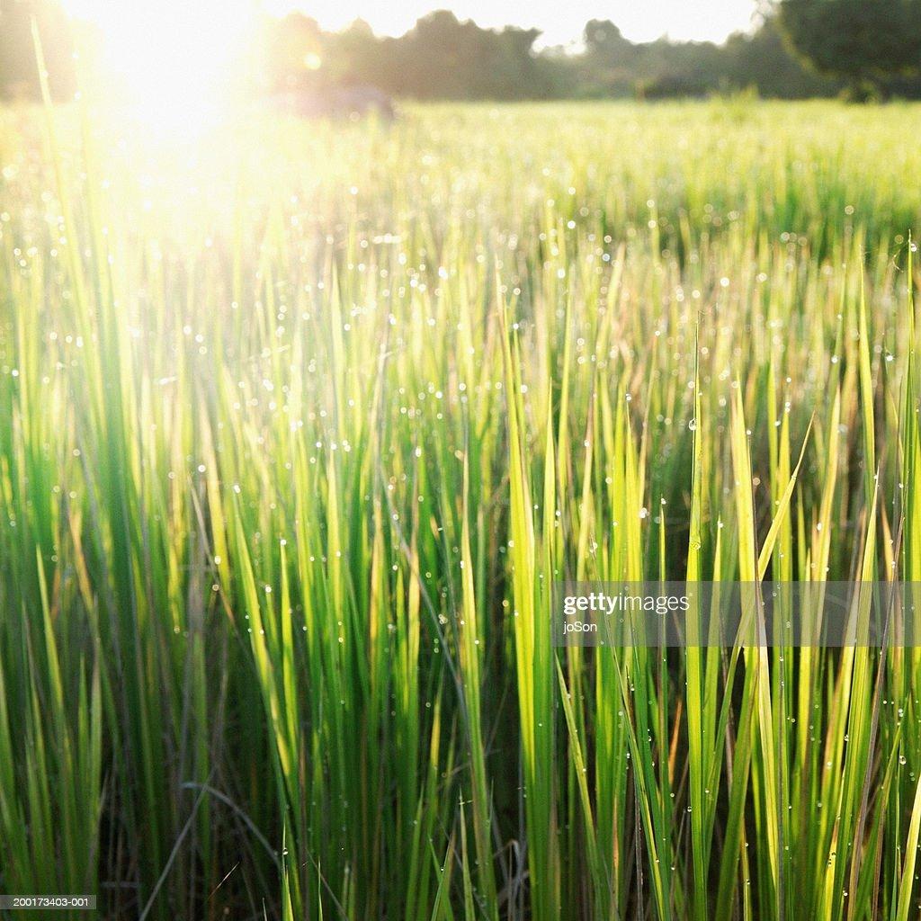 Morning dew on rice (Oryza) paddy field, close-up : Stock Photo