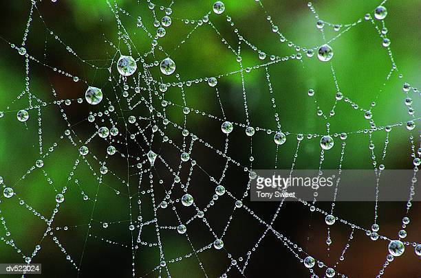 morning dew on spider's web, pemaquid point, maine, usa - ragnatela foto e immagini stock