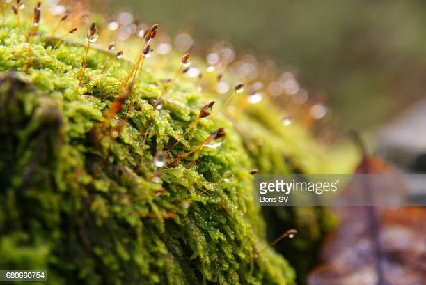 Morning dew on the moss. Autumn