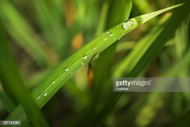 Morning dewdrop on grass