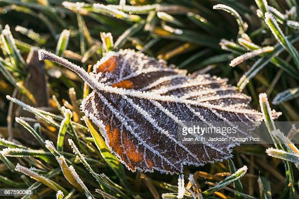 Morning frost outlines the details of a fallen crab apple leaf and the grass on which it has fallen