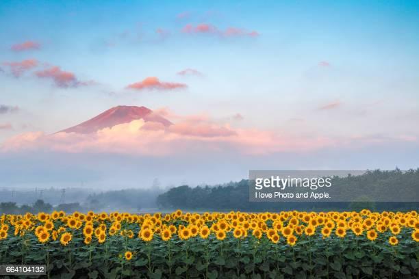 morning fuji and sunflower - 八月 ストックフォトと画像