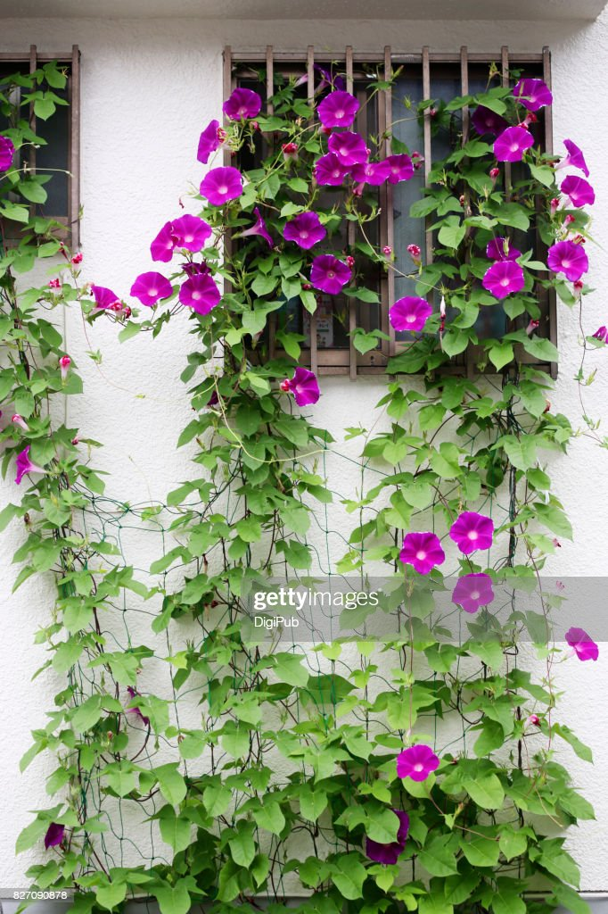 Morning glory climbing white wall : Stock Photo